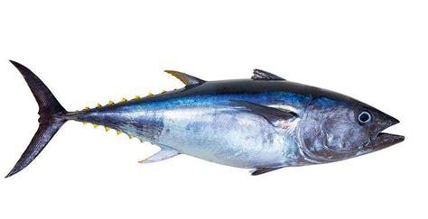 perbedaan mendasar ikan tongkol cakalang  tuna