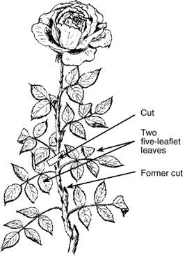 The Garden Club Austin Rose Pruning Time Hand