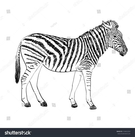 Sketch Zebra Hand Drawn Vector Illustration