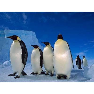 Emperor penguins emperor penguin - Funny Pictures