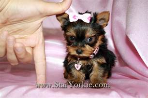 Tiny Teacup Yorkie Puppies Sale