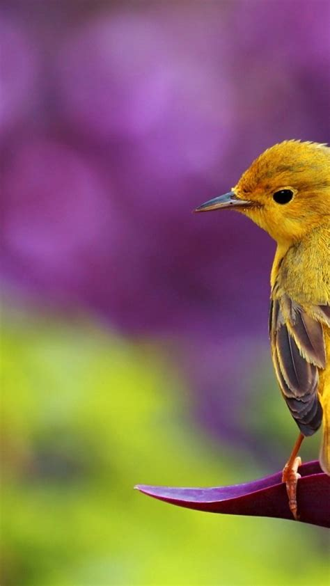 Beautiful Yellow Bird  Hd Spring Wallpaper Wallpaper