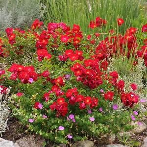 Plantes Et Jardin : d corosier 39 vesuvia 39 plantes et jardins ~ Melissatoandfro.com Idées de Décoration