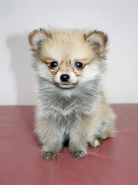 pomchi dog breed pomeranian chihuahua mix