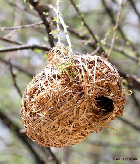 Weaver birds, nests | Project Noah