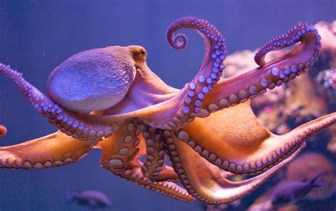 Best 56 Octopus Wallpaper On Hipwallpaper Steampunk Octopus Wallpaper Octopus Wallpaper And