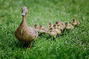 Mother duck with ducklings following behind. www.James ...