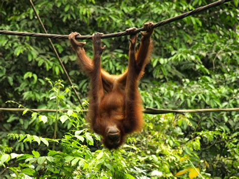 wildlife wednesday orangutan  borneo experimental