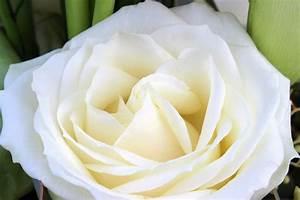 Gelbe Rose Bedeutung : bedeutung rosenfarbe online rosen online verschicken mit blumenfee rosen mit rabatt weie rosen ~ Whattoseeinmadrid.com Haus und Dekorationen