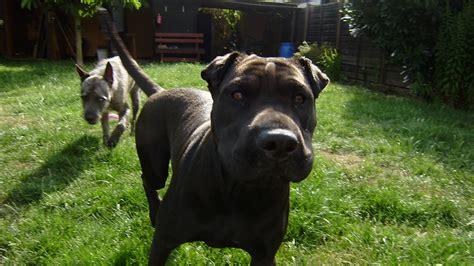 lilou staffordshire terrier shar pei meinmischlingde