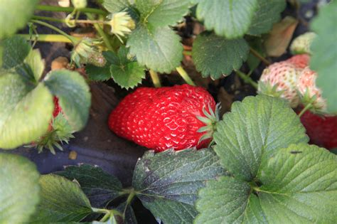 strawberry plants fertilizer for strawberries how to fertilize strawberry plants