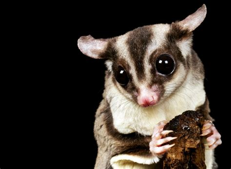 sugar glider cage sugar gliders telling males from females