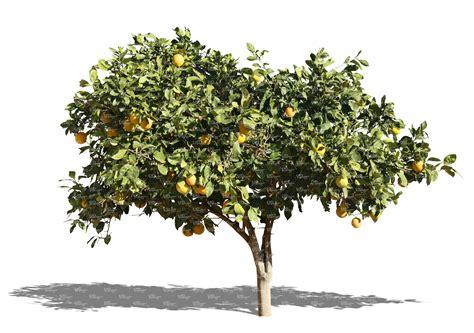 christmas tree food water free photo orange tree tree plant oranges free