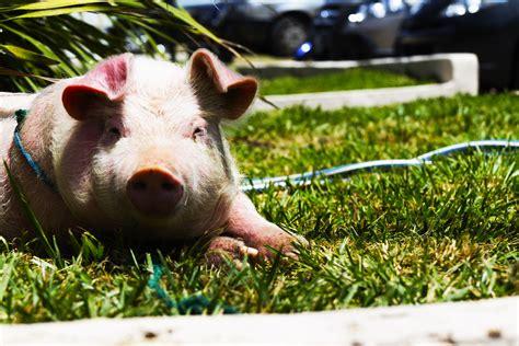mooshme   pot bellied pigs     emotional