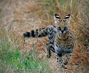 Elsen Karstad's 'Pic-A-Day Kenya': Serval Cat- Masai Mara ...