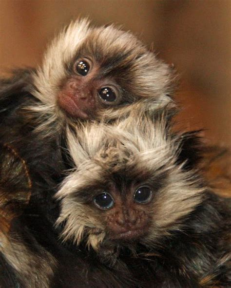small monkey breeds best 25 monkey species ideas on pinterest baby orangutan finger monkey baby and cute baby