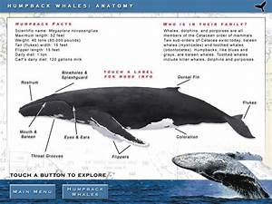 Humpback Whales  Characteristics  Customs And Much More