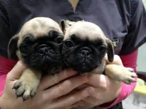 Cute Baby Pugs