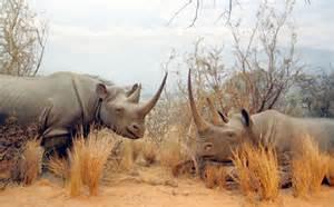 In the African Savanna Black Rhino Habitat