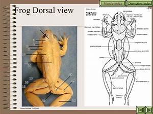 Frog Dissecting