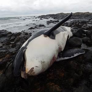 Killer Whale  U0026 39 Lulu U0026 39  Found Dead Off Scottish Island