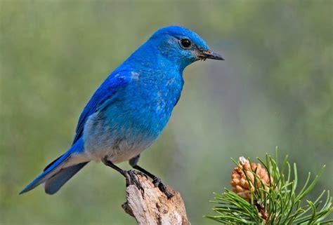 blue birds mountain bluebird wikipedia