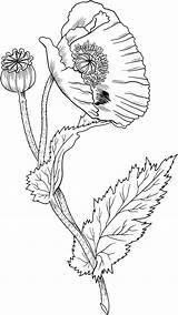 Poppy Coloring Flower Drawing Supercoloring Drawings Line Embroidery Poppies Printable sketch template