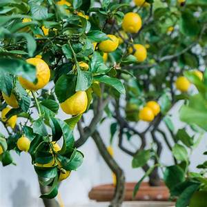 Grow Your Own Lemon Tree Plant Kit By Plants From Seed