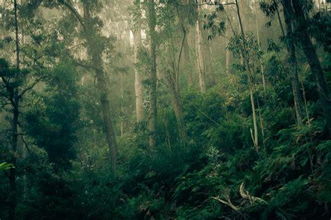 eucalyptus forest madeira portugal photo  sunsurfer