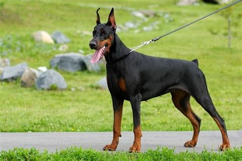 long haired doberman dog breeds picture