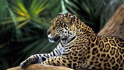 Wild Animals Wallpapers Animal Desktop Cave Leopard