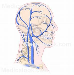 Veins Associated With The Head And Neck