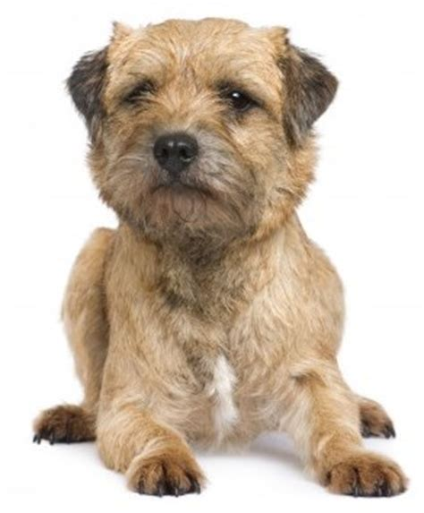 border terrier non shedding border terriers breed information small place