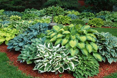 DIY exterior improvments hosta plant