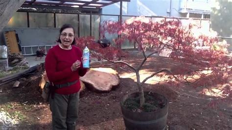 art  pruning japanese maples youtube