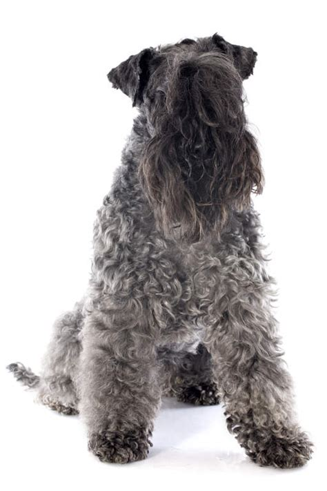 kerry blue terrier dogs breed information omlet