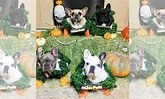 Lady Gaga Dressed Up Her Dogs As Chia Pets And It Was ...