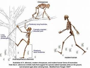 anatomical comparison   Bipedalism   Pinterest   Modern ...