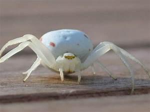 Weiße Spinne Deutschland : wei e spinne foto bild tiere wildlife spinnen bilder auf fotocommunity ~ Orissabook.com Haus und Dekorationen