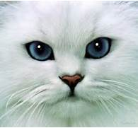 White Cats - Kittens Whiskers   Kittens Whiskers  White Baby Cat With Blue Eyes