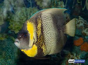 Who Knew that a Cortez Angelfish Could Be This Attractive ...