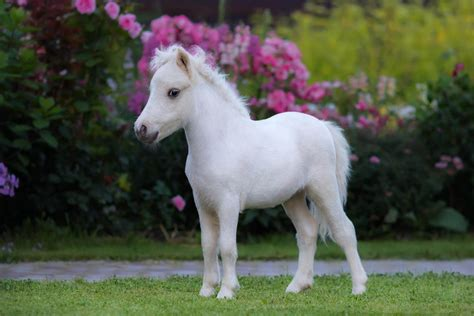 horse miniature foal horses mini american pony baby palomino animal shutterstock garden need planes cavalli questions know stallion pets allowed