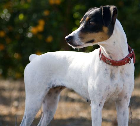 bodeguero andaluz ratonero perro cute terrier jack russell spanish dogs wallpapers wikia parson fandom