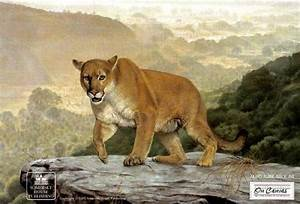 Mountain Lion Paintings and Prints | Shasta - Mountain ...
