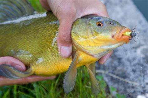 cuisiner une tanche la tanche dit le poisson medecin la truite pelussinoise