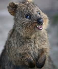 Best Pet Friendly Carpet by Meet The Quokka The Happiest Animal On Earth These Are