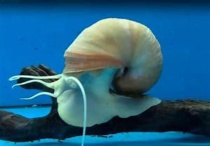Mystery Snail  U2013 Detailed Guide  Care  Diet And Breeding