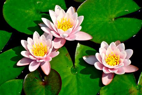 lotus flower wallpaper downlown 1920x1280 resolution ॐ om stuff