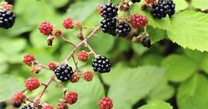 What Are The Benefits Of Blackberries
