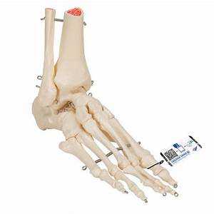 Human Left Foot  U0026 Ankle Skeleton  Wire Mounted